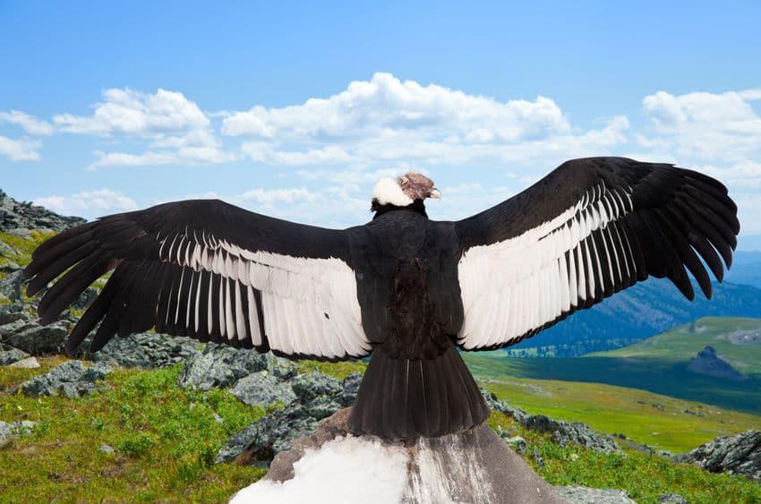 空を飛ぶ鳥の中で、重さ最大15kgある鳥「アンデスコンドル」についての雑学