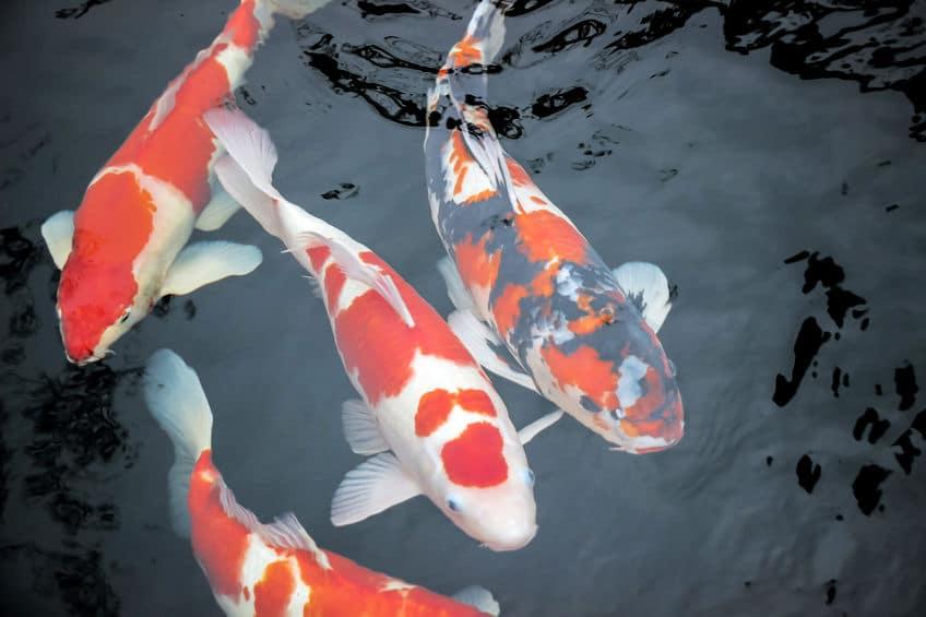 広島東洋カープの「3つの鯉」に関係した由来についてのトリビア