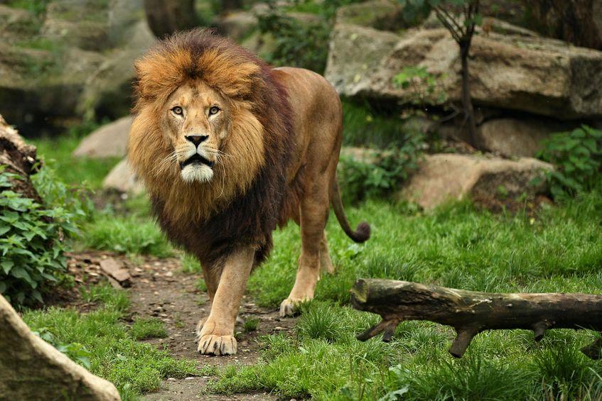 インドライオンは絶滅危惧種についてのトリビア