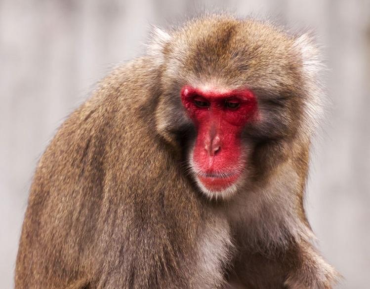 顔やお尻には毛が生えていないため、血管が透けて赤く見えるというトリビア