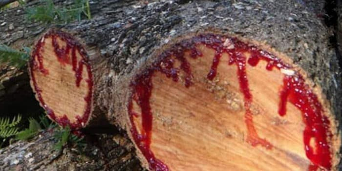 まだまだあった!赤い樹液を出す木についてのトリビア