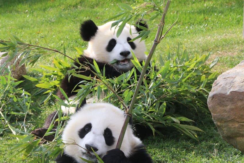 かわいすぎか。パンダの1日は食べることばかりに費やす【動画】という雑学まとめ