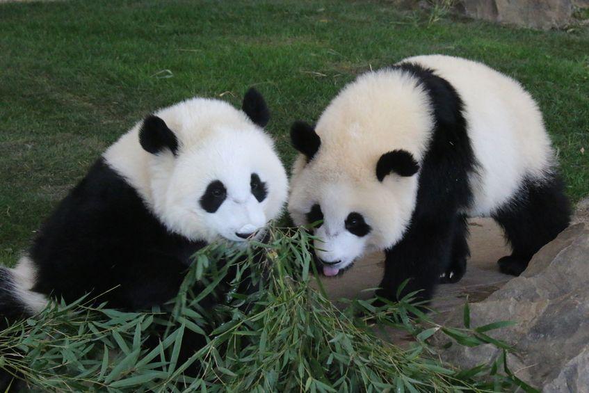 パンダの食事時間は?というトリビア