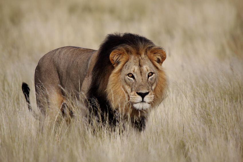 オスライオンも狩りをするというトリビア