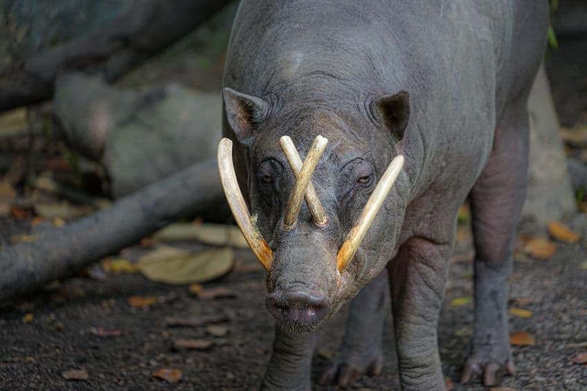 バビルサの牙はなぜこんなにも長い?というトリビア
