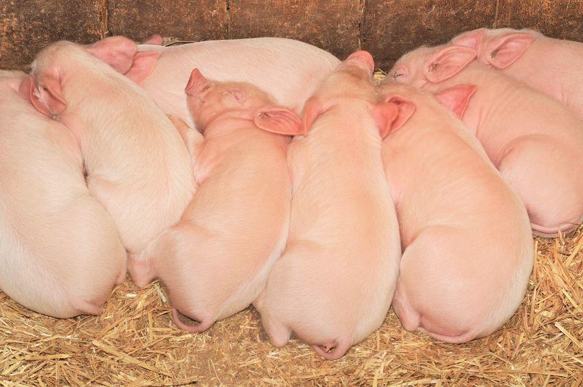 豚の出産の最高記録は1回で32頭についてのトリビア