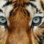 400人以上殺したトラ「チャンパーワットの人食いトラ」に関する雑学