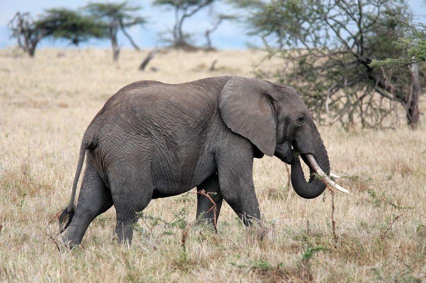 ゾウが虫歯になりにくい理由についてのトリビア