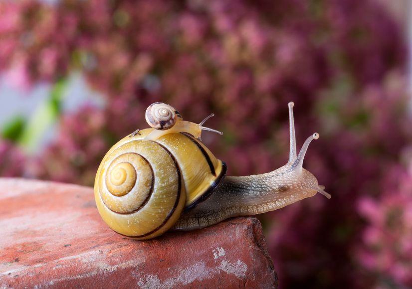 カタツムリは生まれたときから殻を背負っているというトリビア