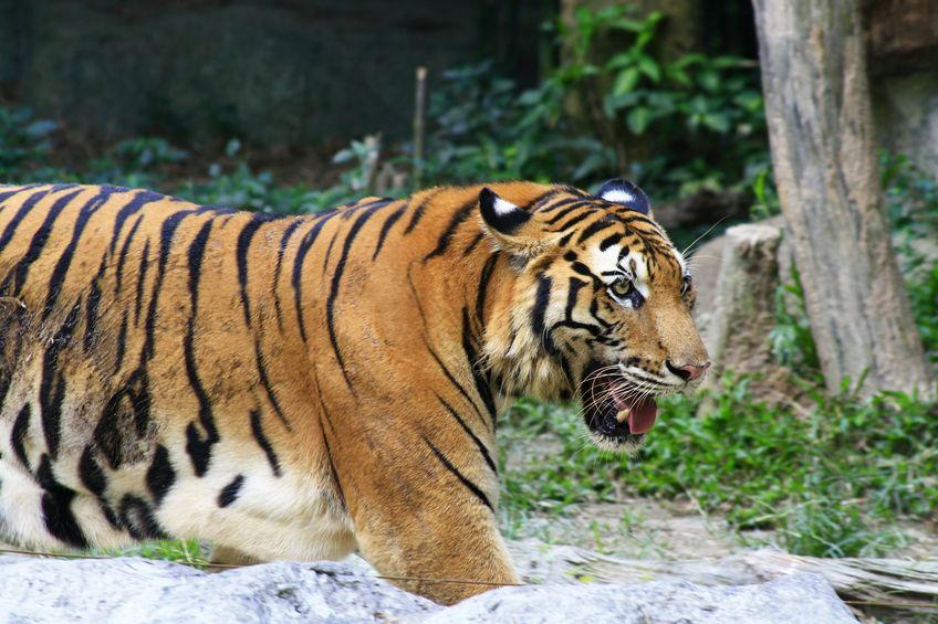 今もトラに襲われることはあるの?というトリビア