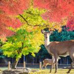 奈良公園の鹿のウンチは虫が掃除しているという雑学