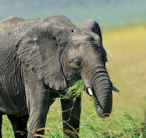 ゾウの歯の仕組みについてのトリビア