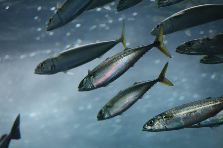 青魚が青い理由に関する雑学