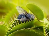 ハエトリソウの葉を閉じる攻撃は一生に数回しかできないという雑学