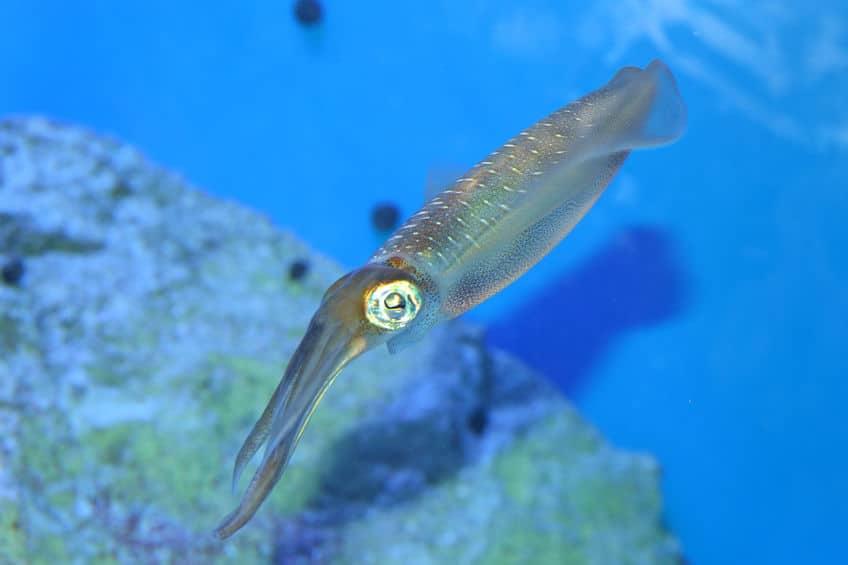 イカは人間と同じ単眼をもつ、珍しい無脊椎動物についてのトリビア