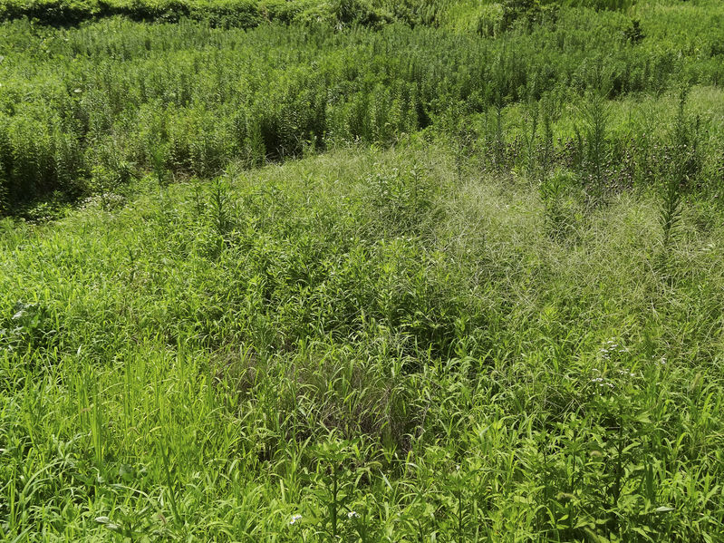 外国の雑草による侵略が進んでいるというトリビア