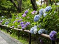 紫陽花(アジサイ)には毒があるという雑学
