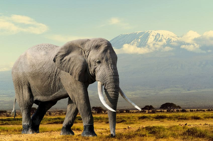 ゾウの歯は4本しかないという雑学