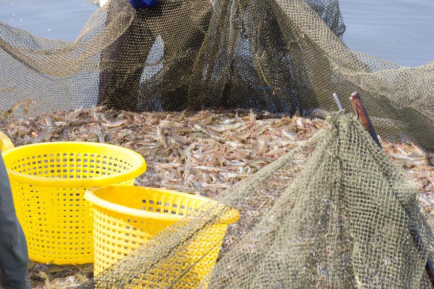 広島の漁村で獲れる小エビは、おいしさを知る人が少ない穴場食材だった!というトリビア