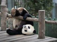 パンダの和名に関する雑学