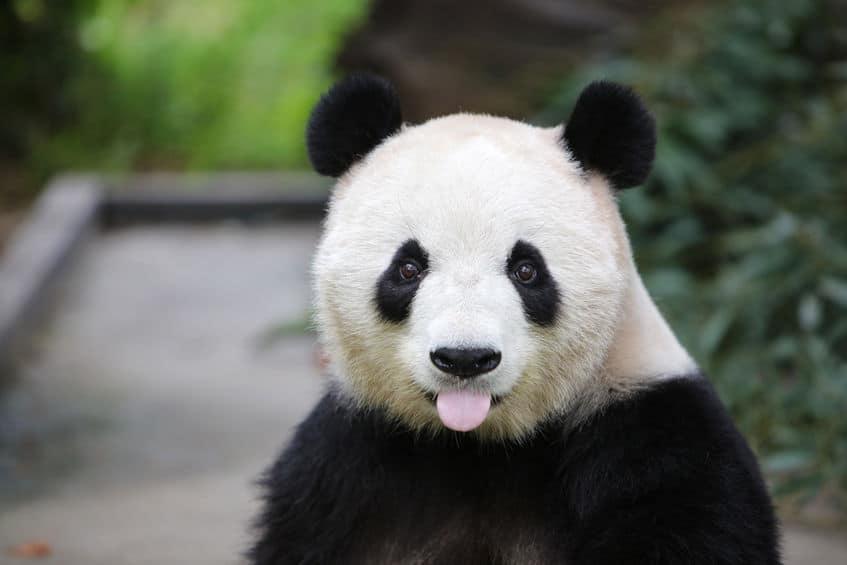パンダの1日は食べることばかりに費やすという雑学