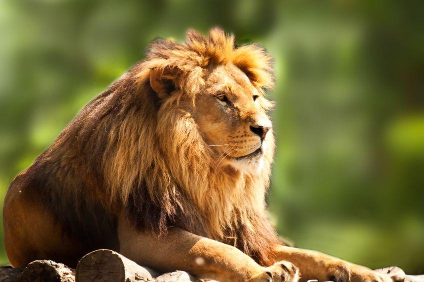 ダーウィンの学説は間違い?獲物を狩るほど立派になるライオンのたてがみというトリビア