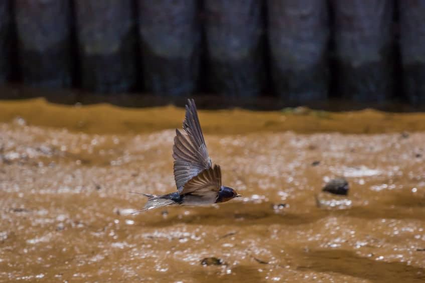 ツバメが低く飛ぶのは餌があるからというトリビア