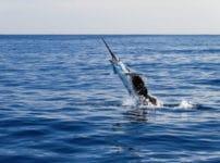 世界でも最も速い魚はカジキマグロという雑学