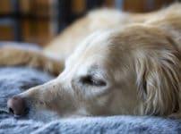 犬が地面にアゴをつけて寝る理由に関する雑学
