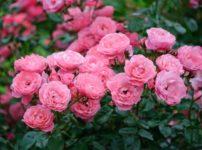 意外と知られていない「バラ科」の植物たちに関する雑学