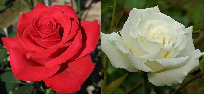 存命の父には赤いバラ、亡き父には白いバラについてのトリビア