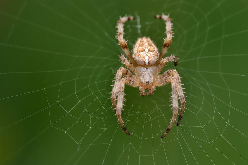 オニグモが毎晩クモの巣を張り替える理由に関する雑学