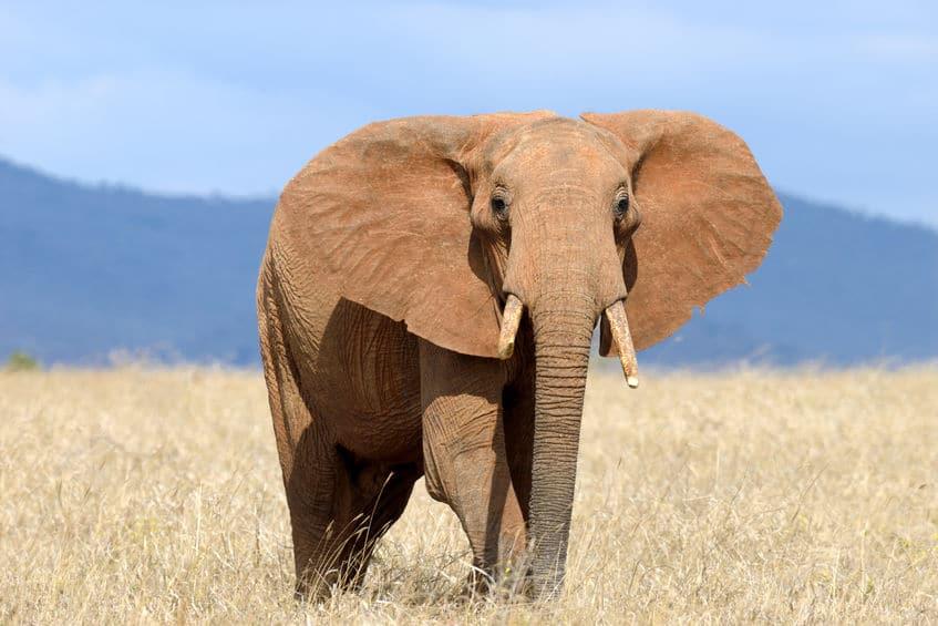 ゾウは耳で体温調整をするというトリビア