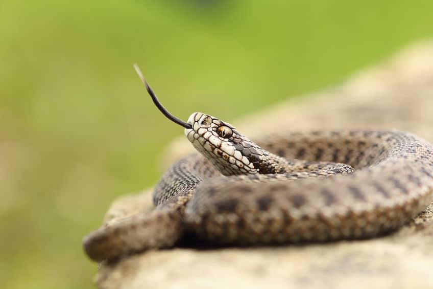 ヘビは嗅覚がとても鋭いという雑学
