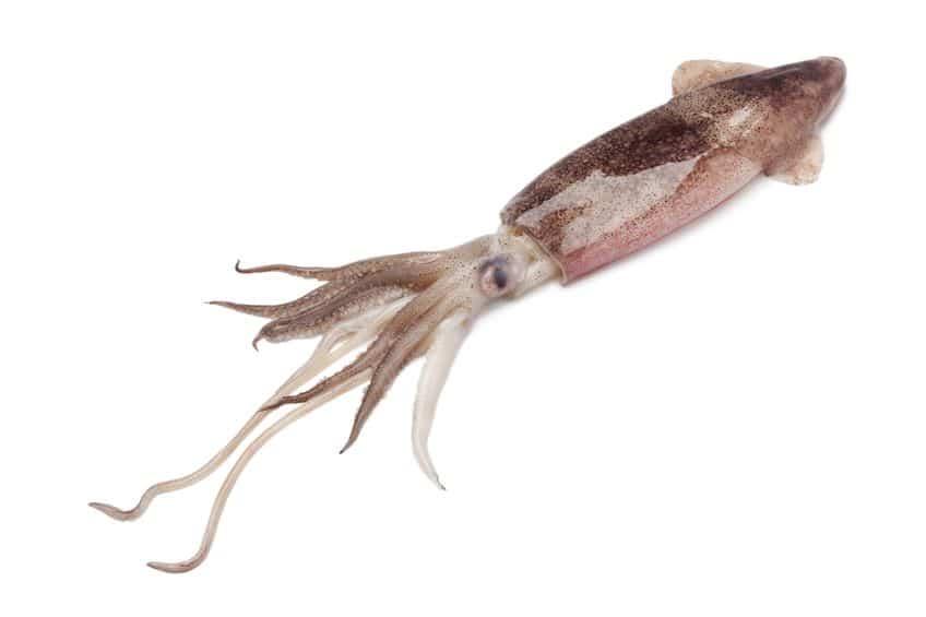 イカの足10本のうち2本は「触腕」といわれる足であるという雑学