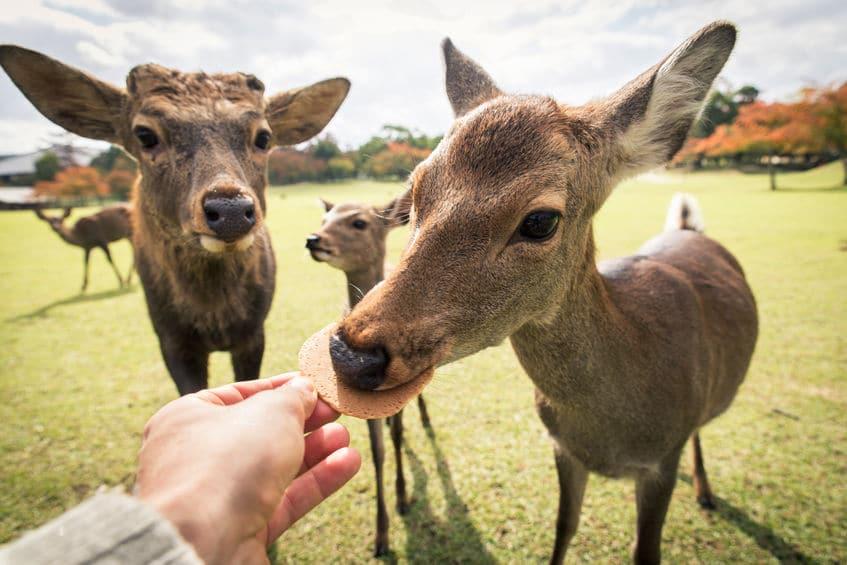 奈良公園にいるシカのツノを切る理由
