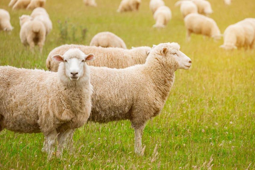 羊の血を輸血→まさかの回復。世界初の輸血は1667年だったというトリビアまとめ