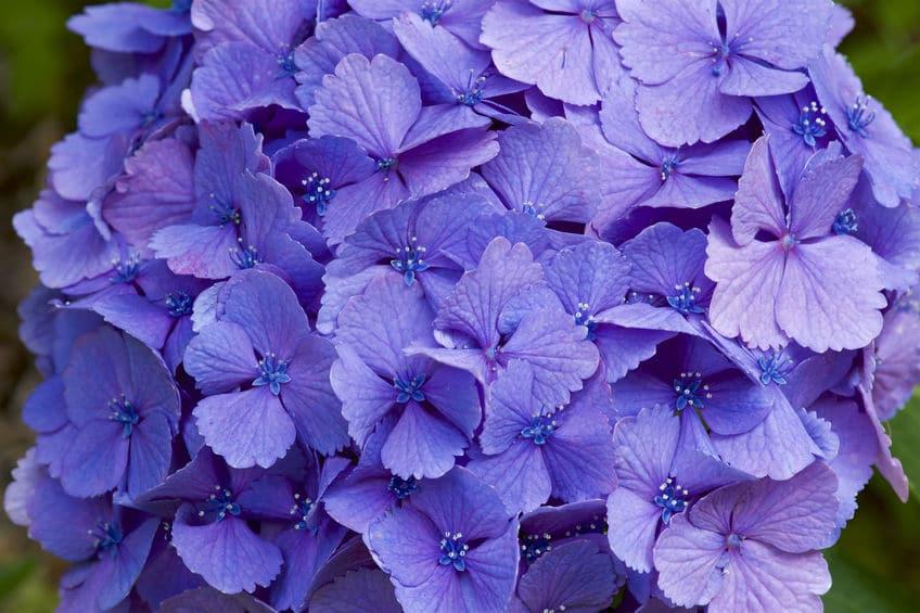 紫色のアジサイの花言葉に関する雑学