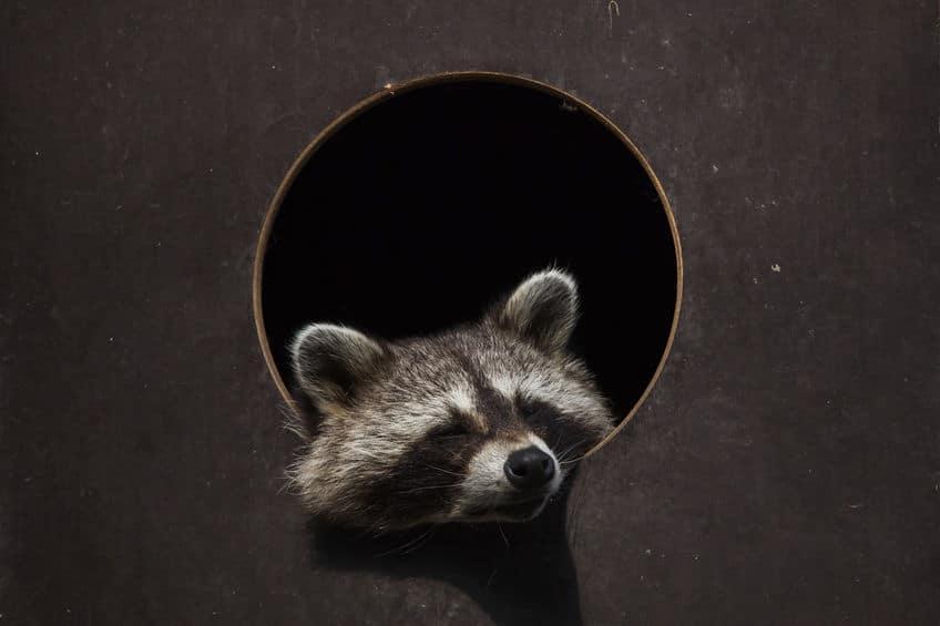 """タヌキは本当に""""狸寝入り""""をする。その理由とは?【動画】についてのトリビアまとめ"""