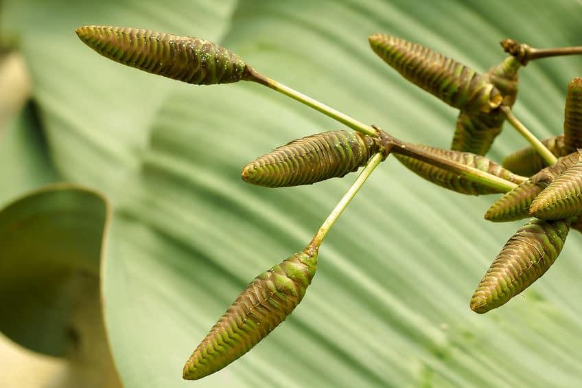 ウェルウィッチアの種子に関する雑学