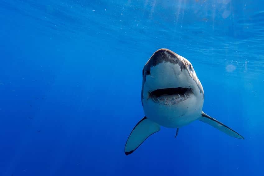 サメは人間を積極的に襲わないというトリビア