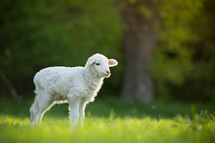 クローン羊「ドリー」についての雑学まとめ