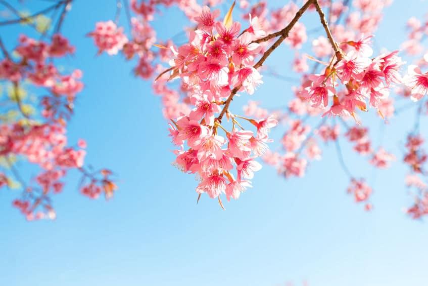 桜の開花にまつわる雑学まとめ