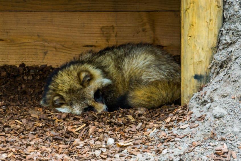 タヌキが「狸寝入り」をする理由についてのトリビア