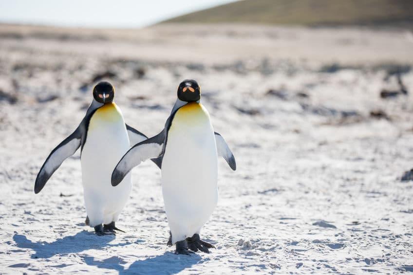 北半球のオオウミガラスと、南半球のオオウミガラスそっくりの鳥についてのトリビア