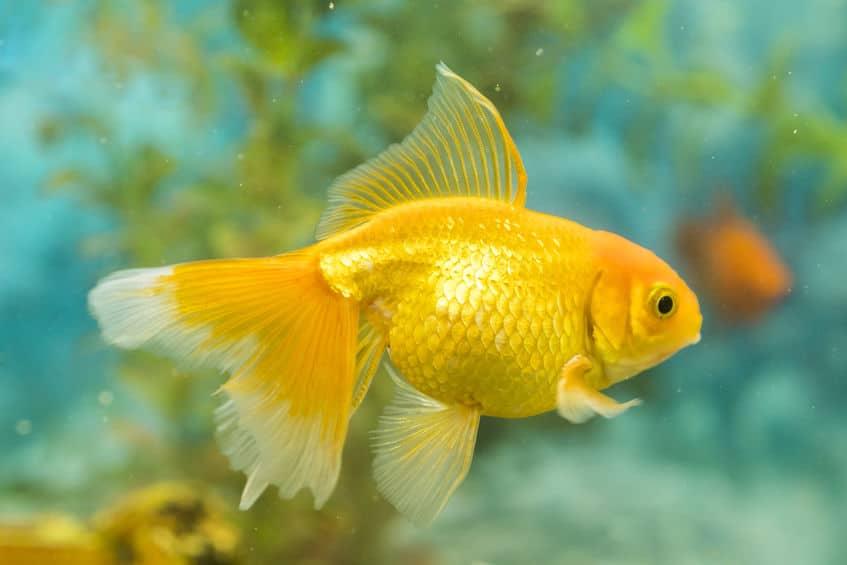 金魚のフンに関する雑学まとめ
