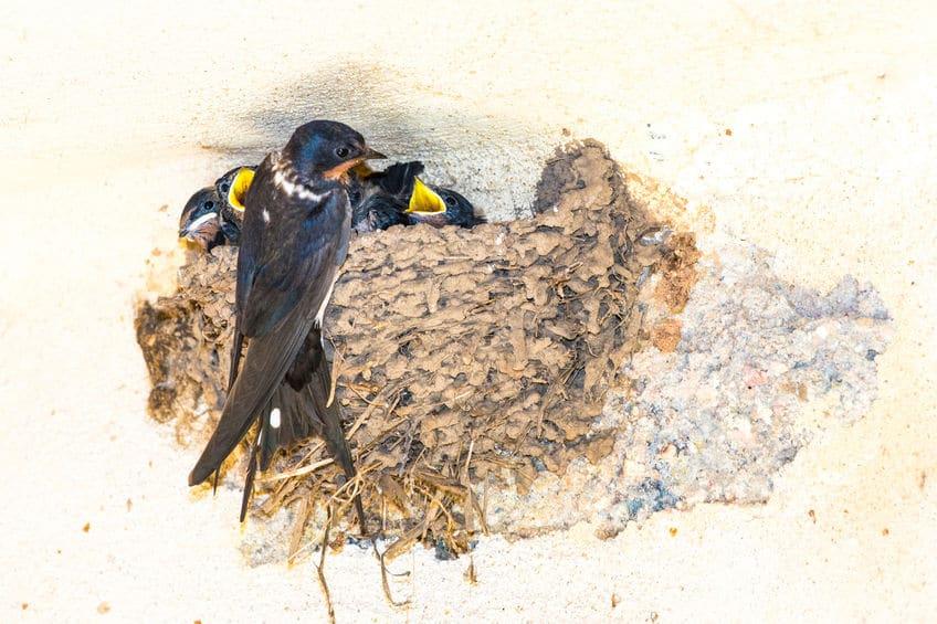 日本人の「ツバメの巣ハンター」に関する雑学