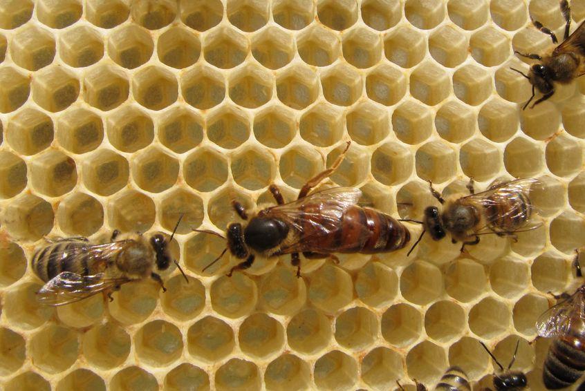 女王バチが外に出るのは交尾のときだけというトリビア