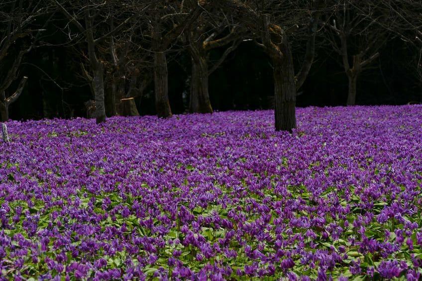 日本の代表的なカタクリ群生地に関する雑学