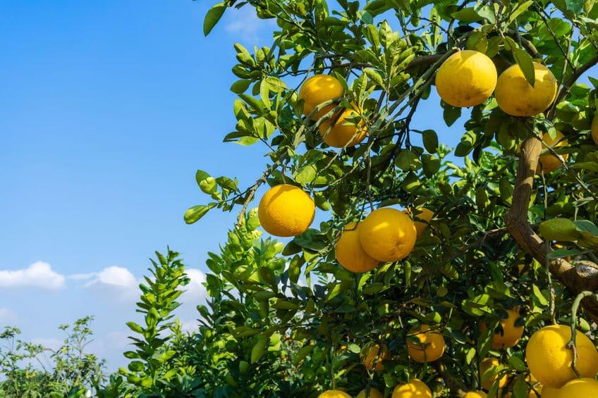 グレープフルーツの由来はグレープ(ぶどう)のようだからというトリビア